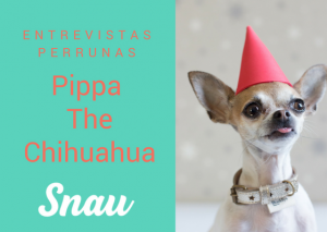 Pippa the Chihuahua