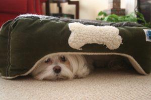 miedo a la pirotecnia de los perros