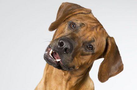 los perros reconocen las emociones