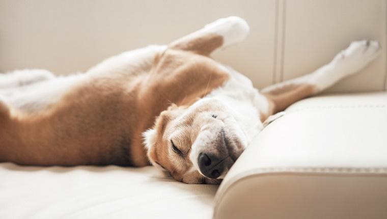 perro durmiendo sofá