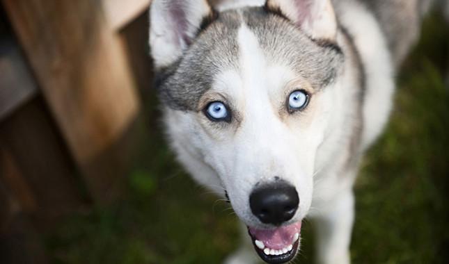mejores perros husky siberiano