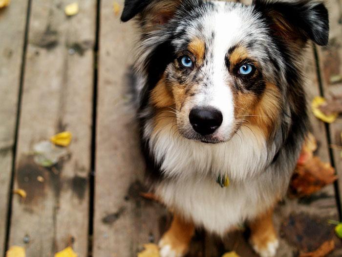 los mejores perros pastor australiano
