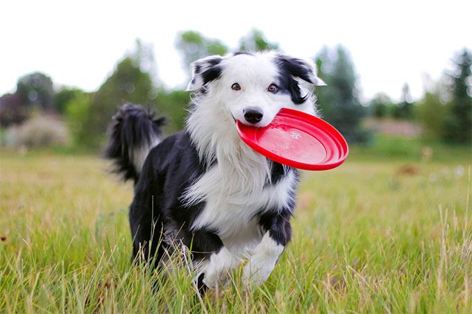 los mejores perros border collie