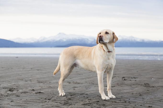 mejores perros labrador retriever