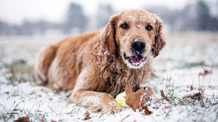 perros pasan frio nieve