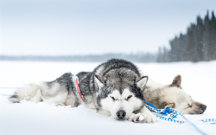 perros pasan frio husky