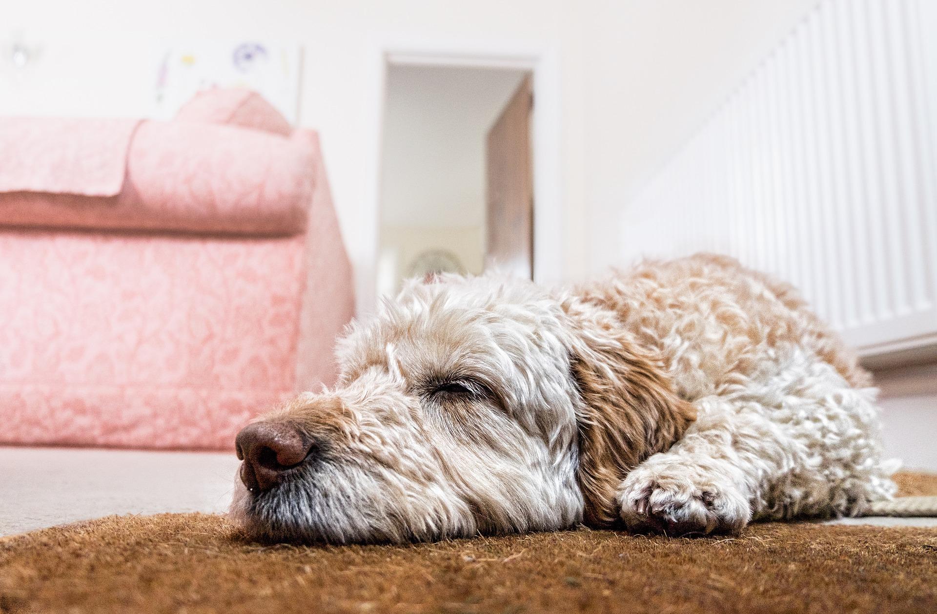 perros en nochevieja descansando