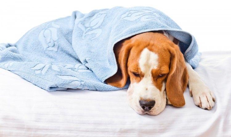 primeros auxilios para perros golpe de calor