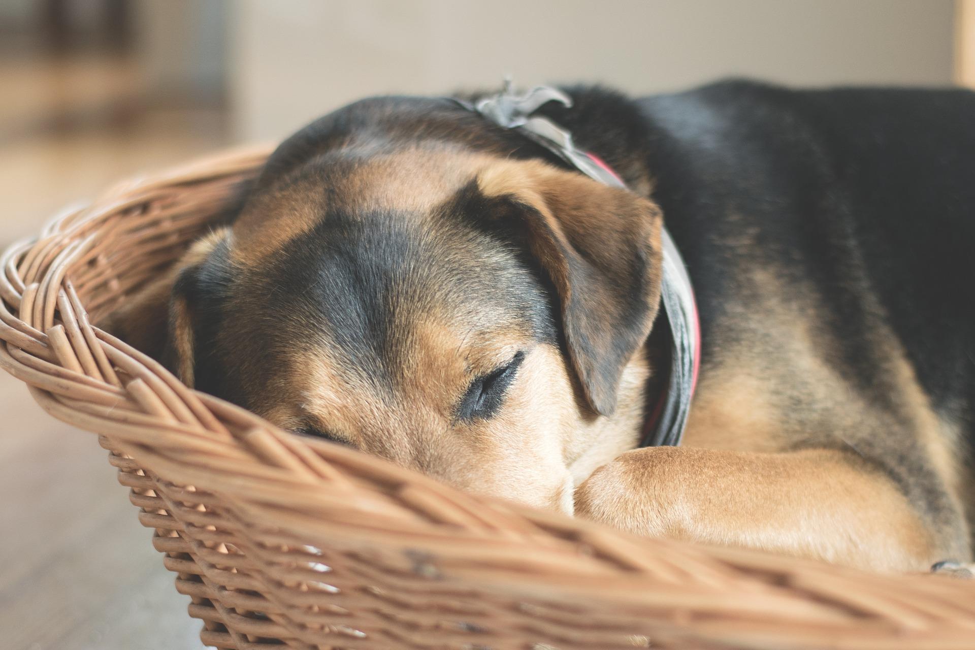 diabetes en perros cansado