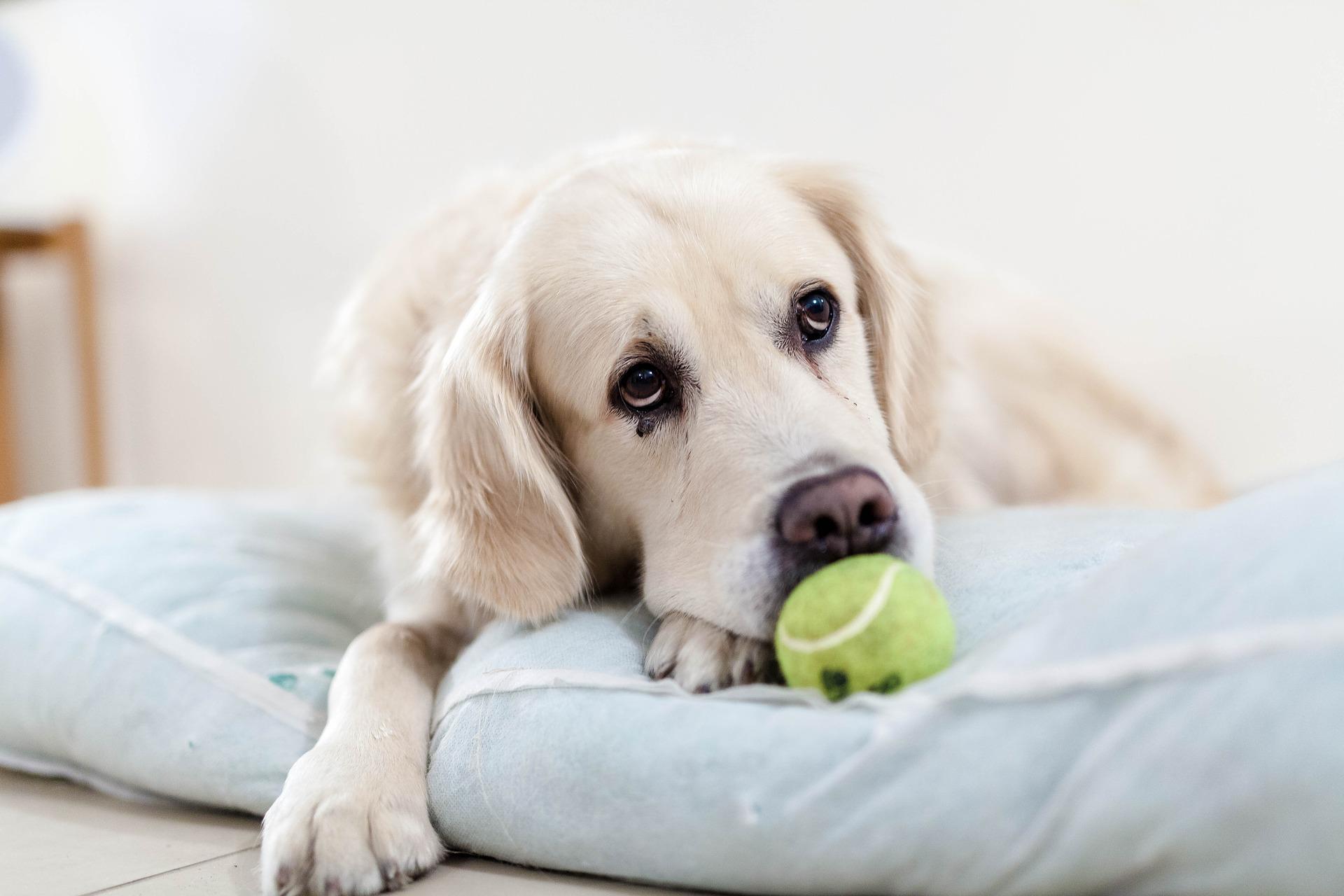 diabetes en perros triste