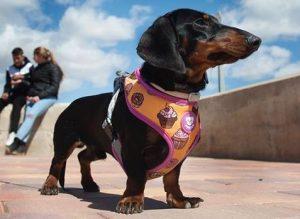 moda para perros arnés