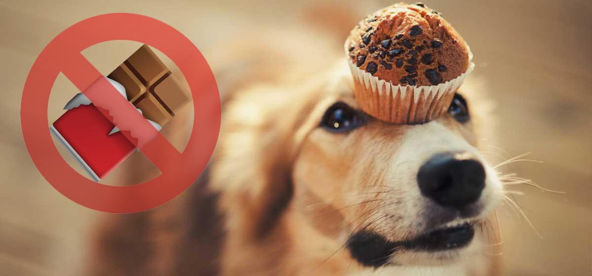 el chocolate es tóxico para los perros