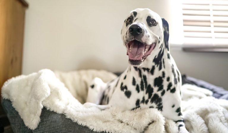 CÓMO ELEGIR LA MEJOR CAMA para que tu perro tenga un descanso sano