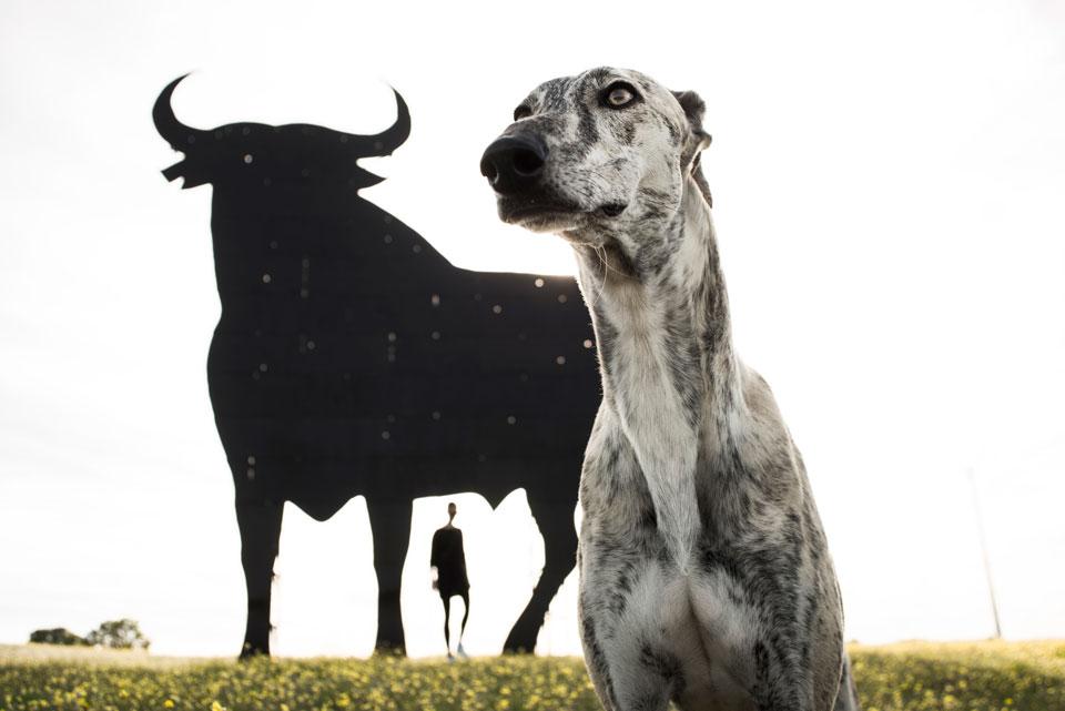 galgo y un toro de fondo