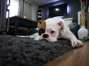 un perro tumbado en una alfombra