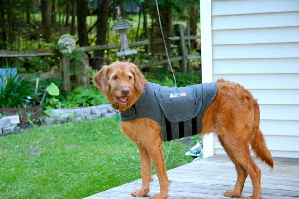 Un perro con un thundershirt puesto